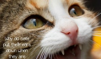 Ear Expression: Why Do Cats Put Down Their Ears?