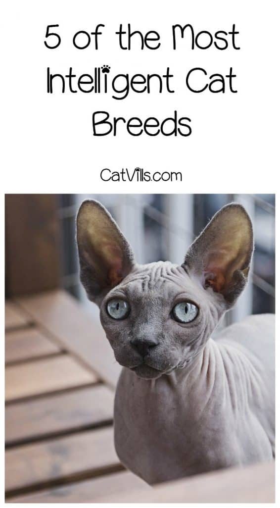What are the most intelligent cat breeds? Check out our list of super cute smarty pants kitties!