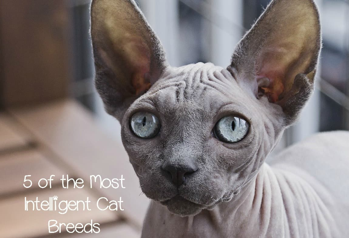 5 of the Most Intelligent Cat Breeds in the World CatVills
