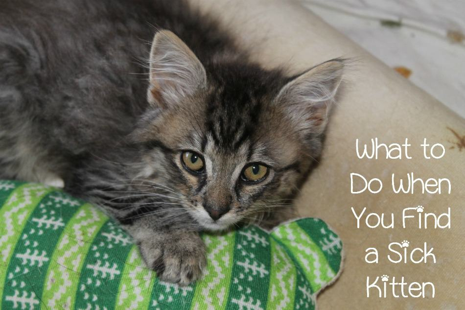 What Do You Do If You Find a Sick Kitten?