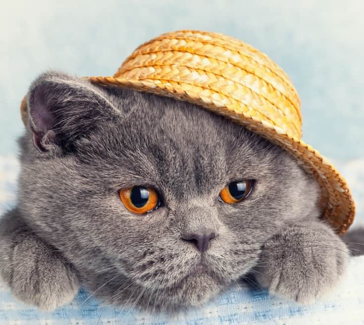 12 Dressed Up Cats that Look Too Adorable