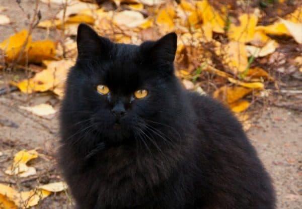 14 Super Cute Black Cats Catvills