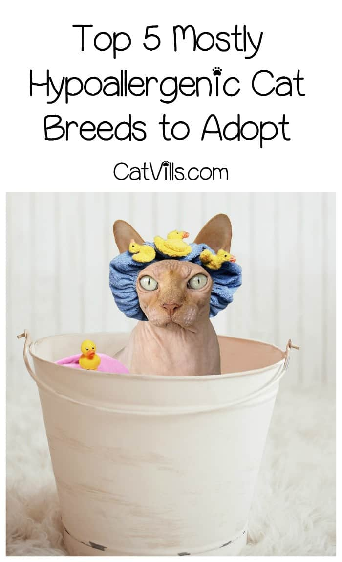 While there aren't any 100% hypoallergenic cat breeds out there, these five beauties come pretty close! Check them out & make your dream of being a cat parent come true!