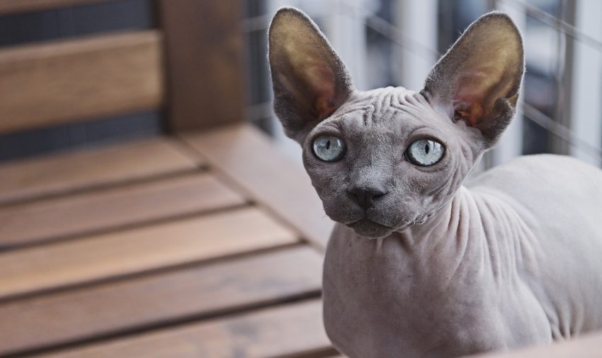 sphynx with wide eyes and ears