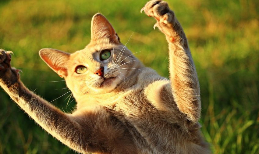 a brownish cat with green eyes raising his hands in the air: catnipped cat to make you laugh