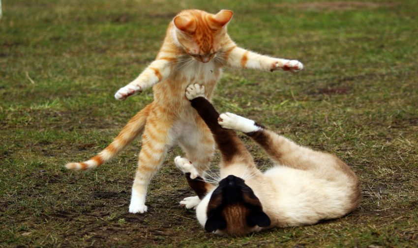 two catnipped cats playing on the ground