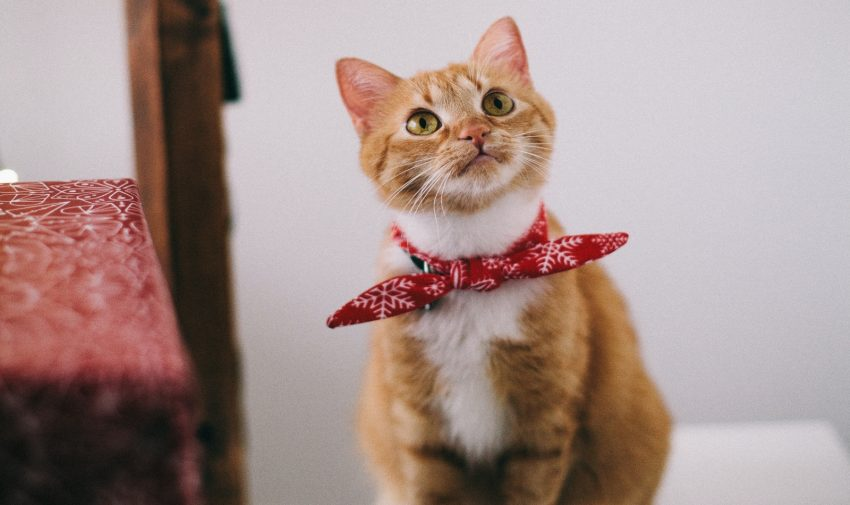 a catnipped cat wearing a beautiful red ribbon