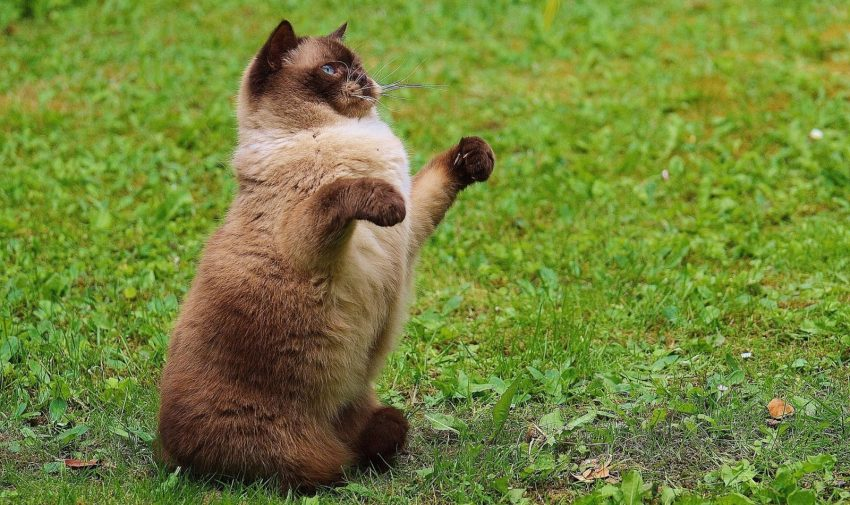 a chubby catnipped cat that will make you laugh because she is doing yoga on her own: