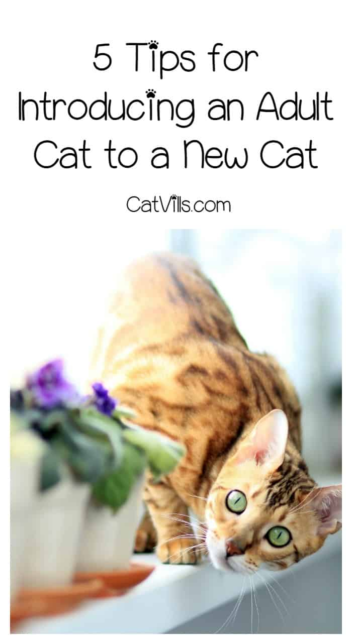 Bringing home a new kitty? Make sure your current kitty is happy. Check out these 5 must-read tips for introducing an adult cat to a new cat!