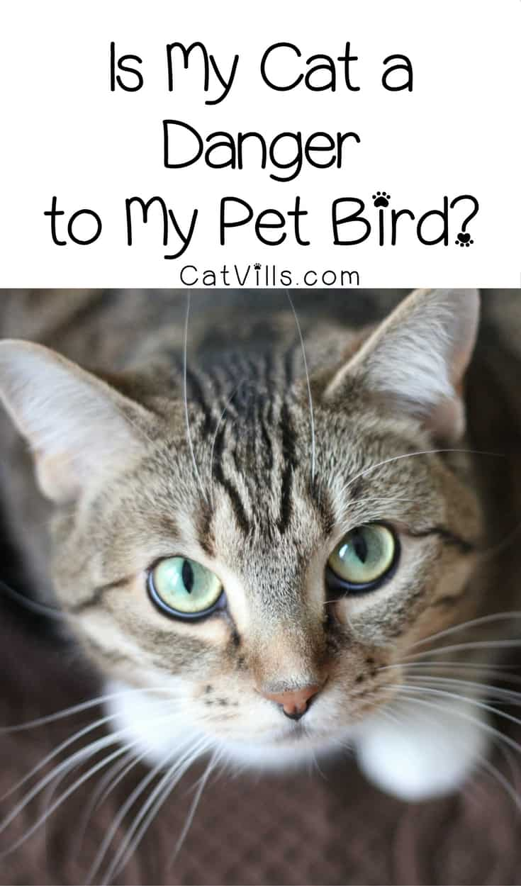 Can cats and birds live together in harmony? Find out just how much a danger your cat is to your pet bird & how to help get along!