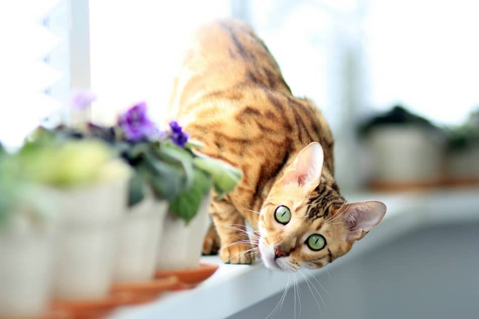 introducing Adult kitten cat