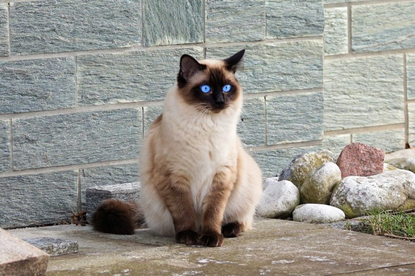 We found you 10 of the cutest Siamese cats on the internet! Check them out for oodles of oohs and ahhs! You're welcome!