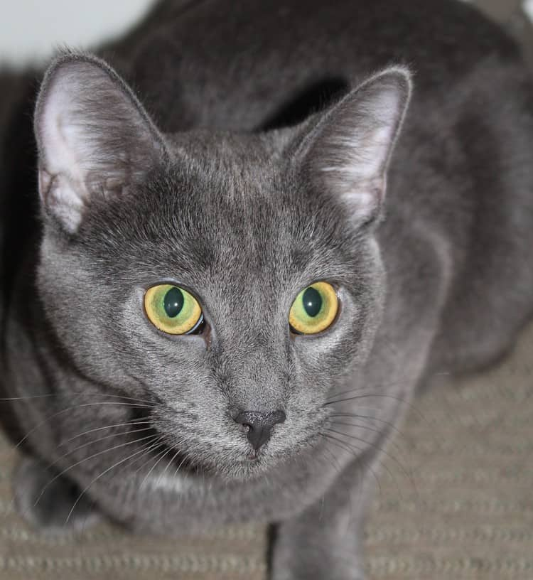 11 Most Stunning & Adorable Gray Cats You've Ever Seen