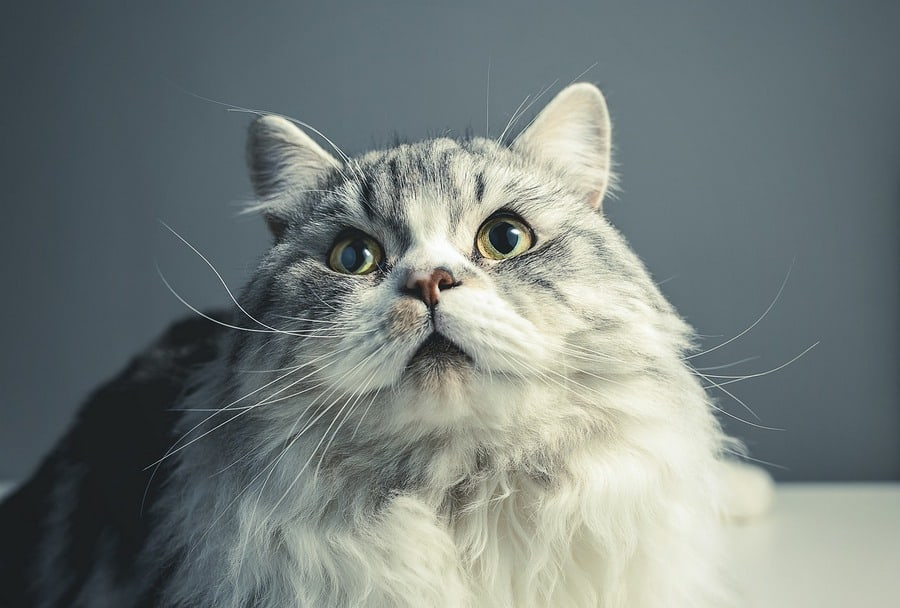 15 of the Cutest Persian Cats You've Ever Seen!
