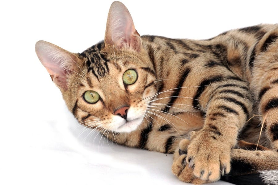 Exotic Breeds Of House Cats