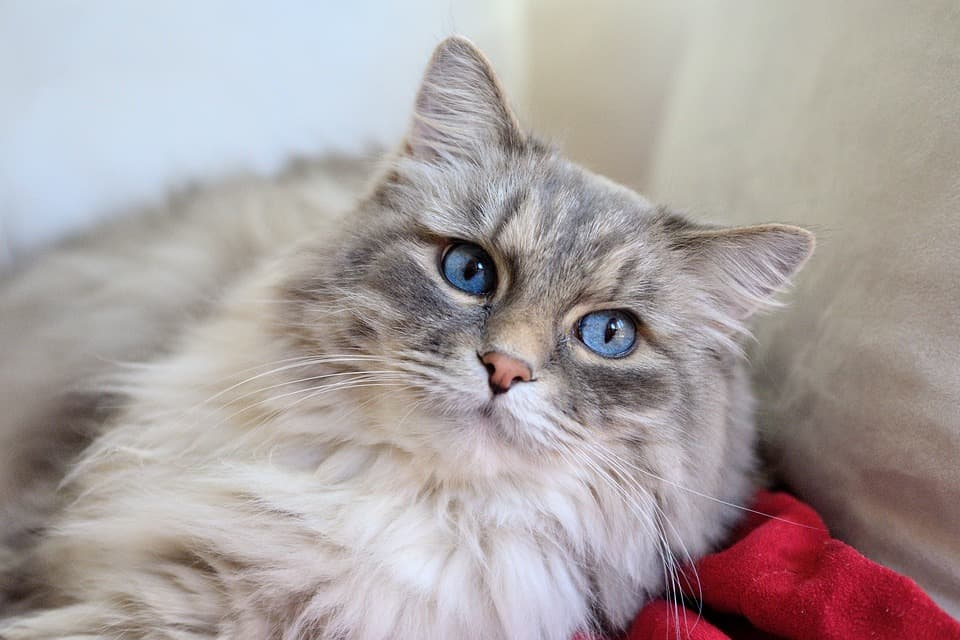 Cat Breeds Long Haired Pictures