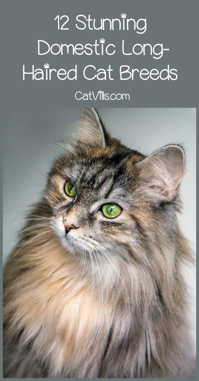 Want a super fluffy kitty to add to your family? Check out our list of domestic long-haired cat breeds, along with everything you need to know about each one!