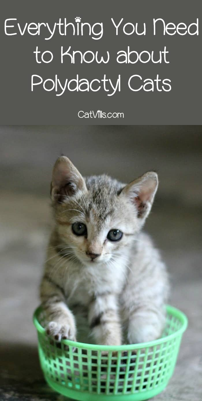 Polydactyl Cats: Are There Any Major Health Concerns ...
