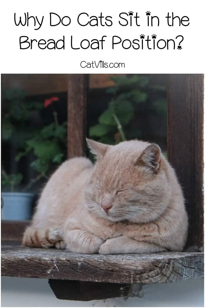Why do cats sit in the bread loaf position?It's a question that has plagued humans since ancient Egyptians first started worshiping cats! Find the answer!