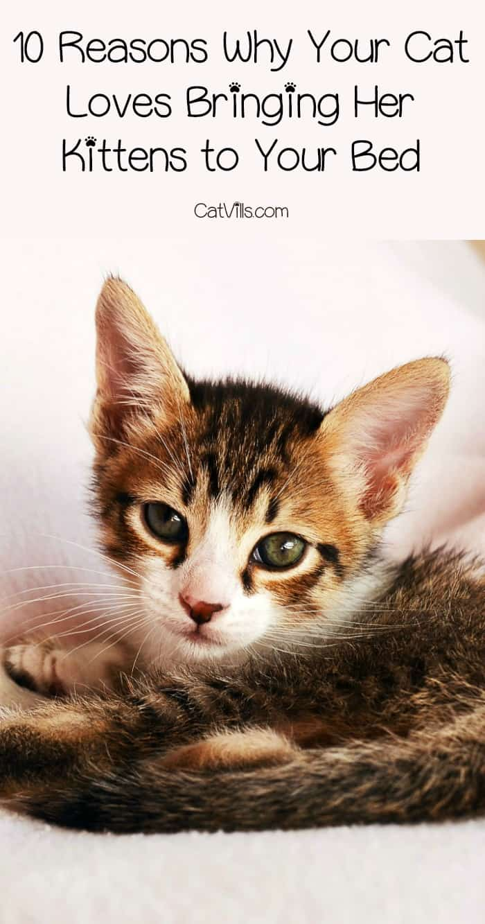 Why does your cat keep bringing her kittens to your bed? There are actually a few good reasons! Check out the reason behind this cat behavior!