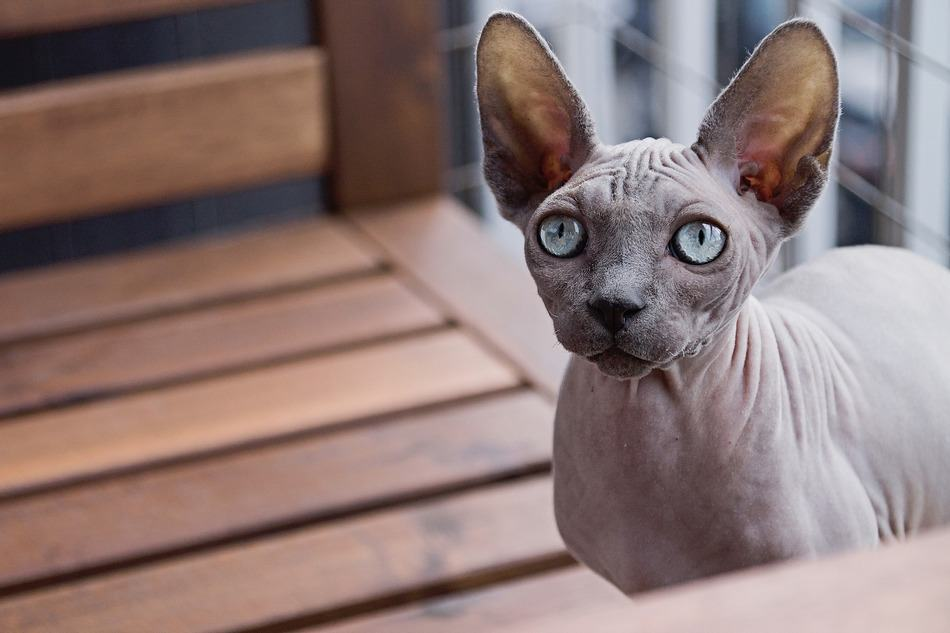 10 Cat Breeds That Don't Shed…Much