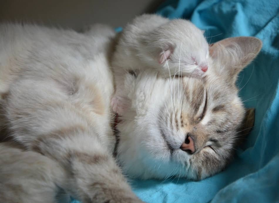 Will your cat raise kittens that aren't her own? It depends on your cat's personality and mood! Find out more & learn what to do if your cat rejects the kittens!