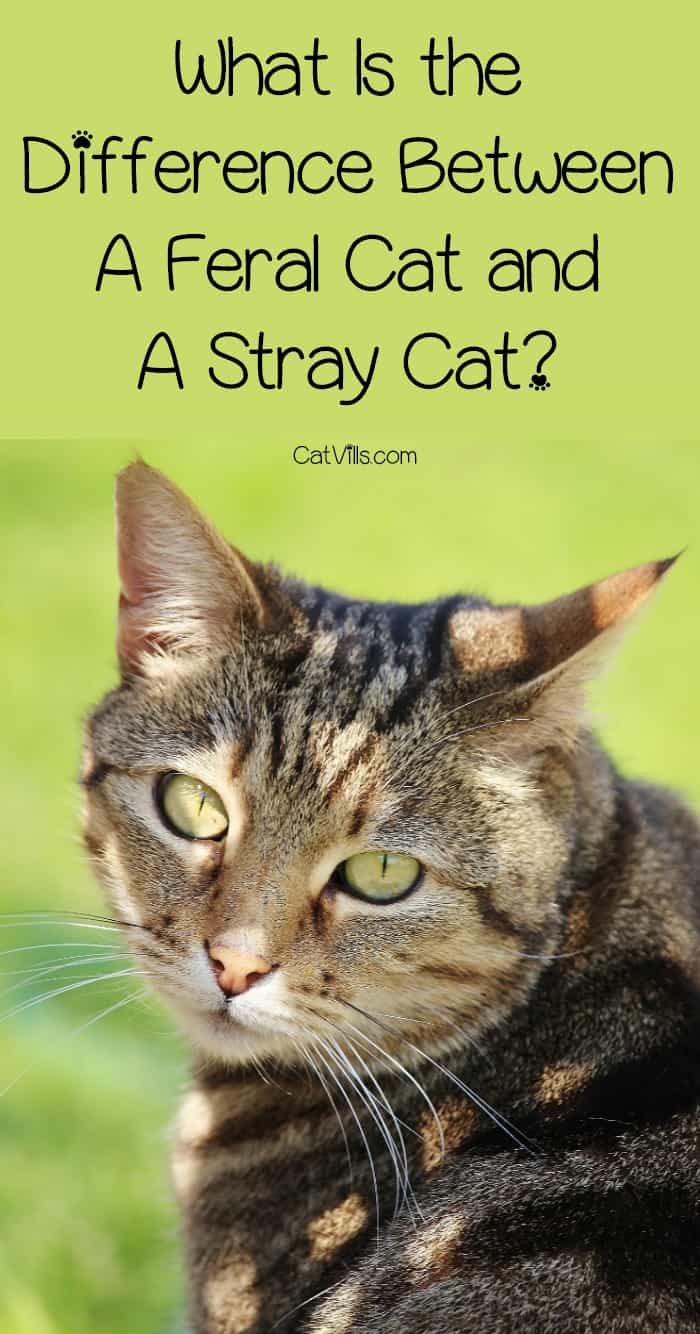 Is there a difference between a feral cat and a stray cat? The answer may surprise you! Find out now!
