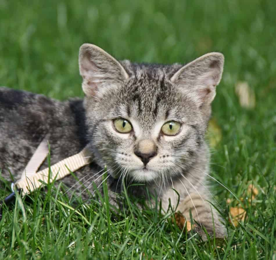 "Leash Training a Cat – Doing the ""Impossible"""