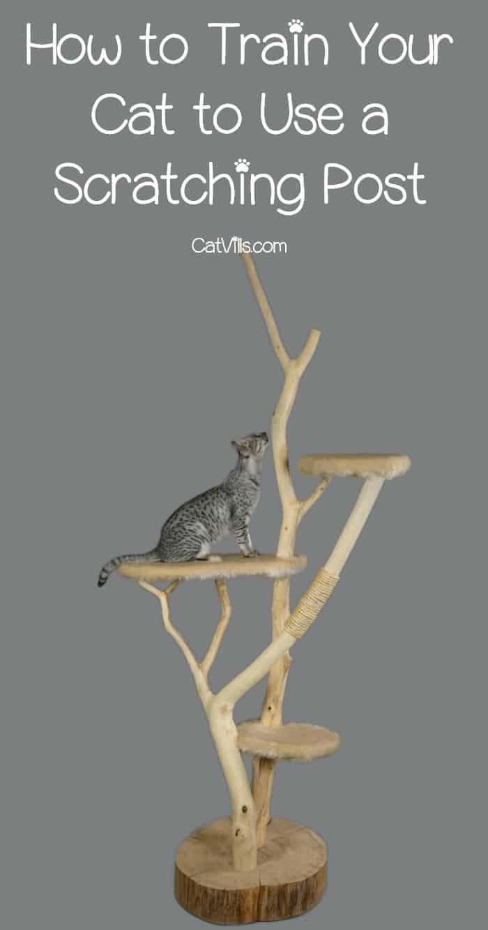 tiger cat climbing a cat tree