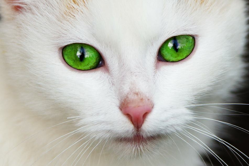 10 Stunning White Cats That Will Capture Your Heart