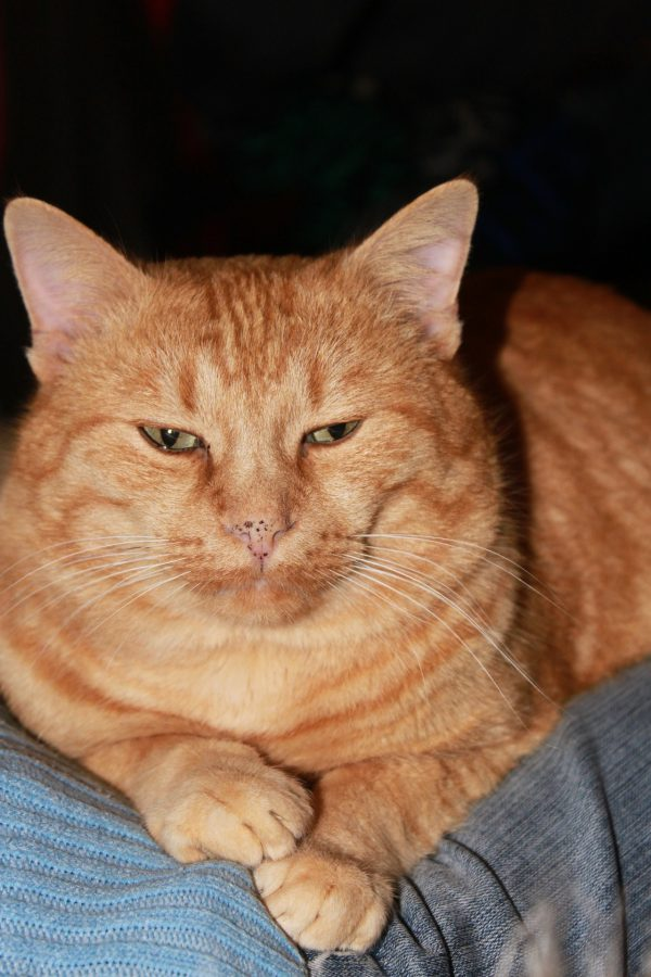a sleepy fat orange tabby cat