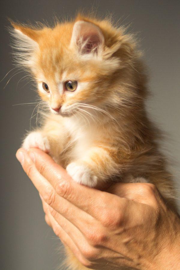 a little orange kitten held by a hand