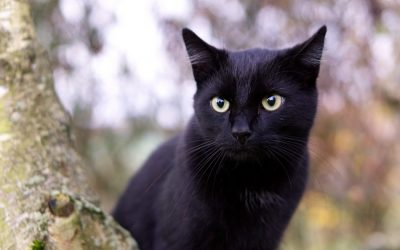 The Bombay Cat – Personality & Facts You Need to Know
