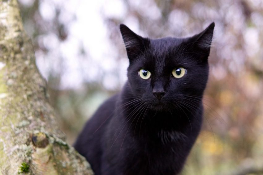 The Bombay is the only true black cat with green eyes.