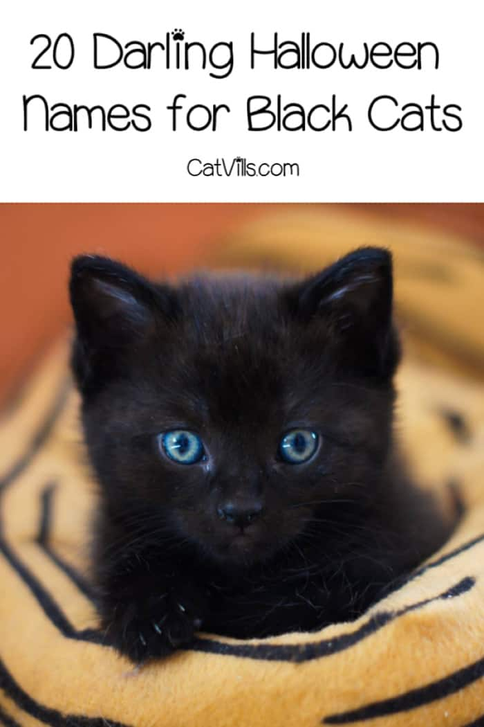 If you're searching for some great Halloween names for black cats, we've got a treat for you! Check out 20 great male & female Halloween kitten names!
