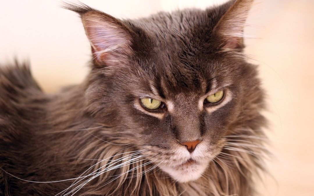 Want a Maine Coon Munchkin Cat Breed Mix? Check Out These Facts First!