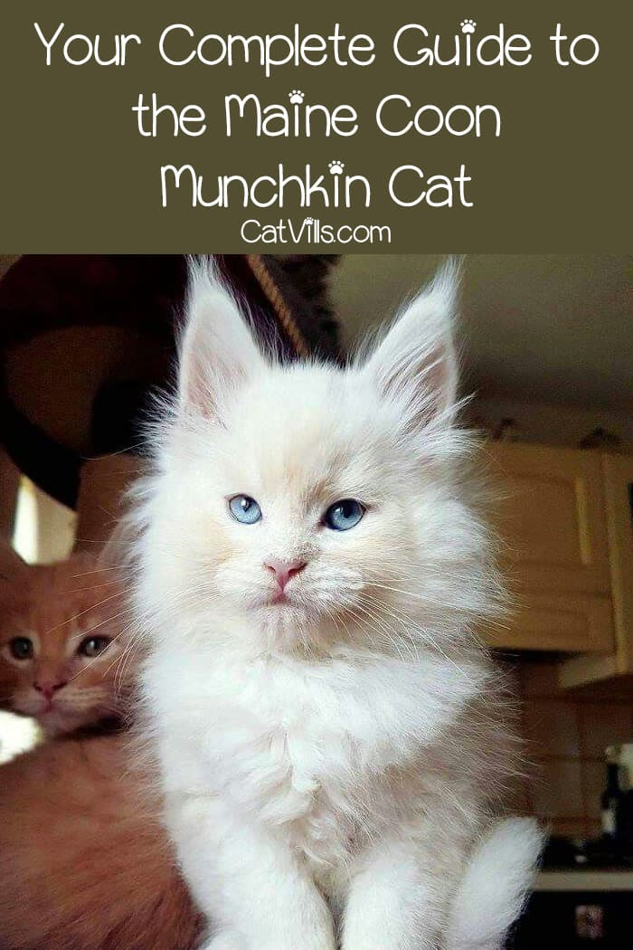 Are you thinking about adopting a Maine Coon Munchkin Cat breed mix? Make sure you check out all these facts about the breed first!
