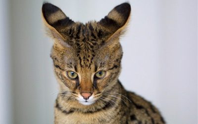 The Savannah Cat Breed, What You Will Need and Want to Know