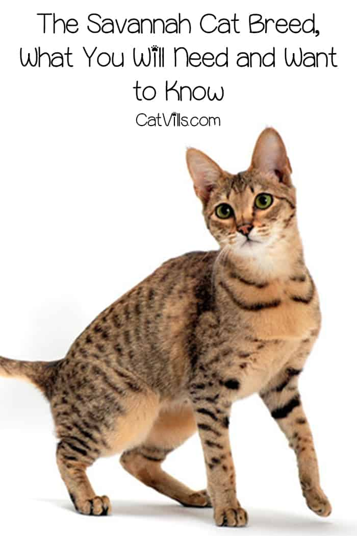 Considering the Savannah cat breed as your next family cat? This breed is unlike any other and has some things to consider before committing. Learn what you need to know!