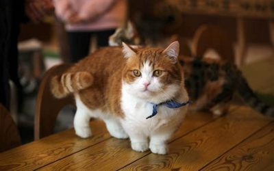 The Skookum Cat Breed, What You Will Need and Want to Know