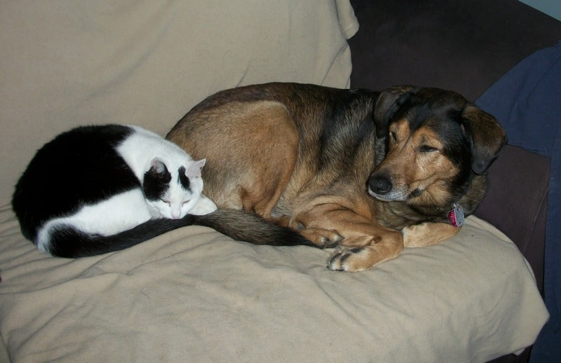 Bringing a new cat into the home raises the question of how to introduce a cat to a dog or a cat to another cat. Read on for tips on how to do it safely!
