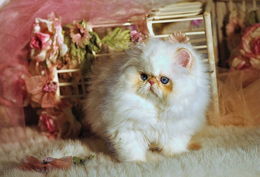 The Napoleon Cat Breed, What You Will Need and Want to Know