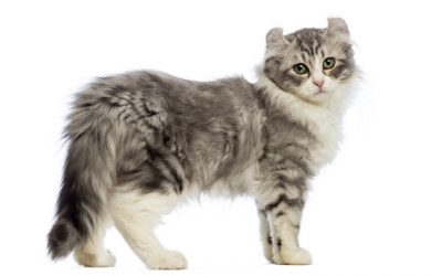 Kinkalow Cat Breed – All About This Tiny Powerhouse