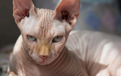 The Bambino Cat – Everything About This Hairless Wonder