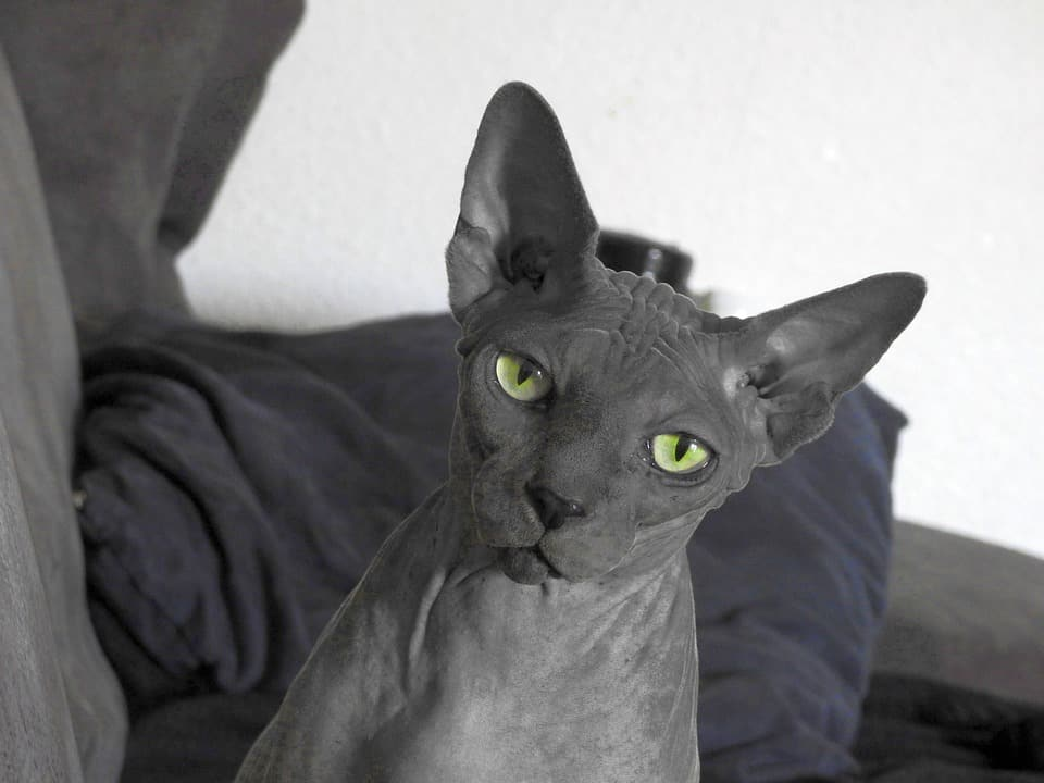 Curious about the Bambino cat? Come learn everything there is to know about this hairless breed that's making its mark in the cat world.