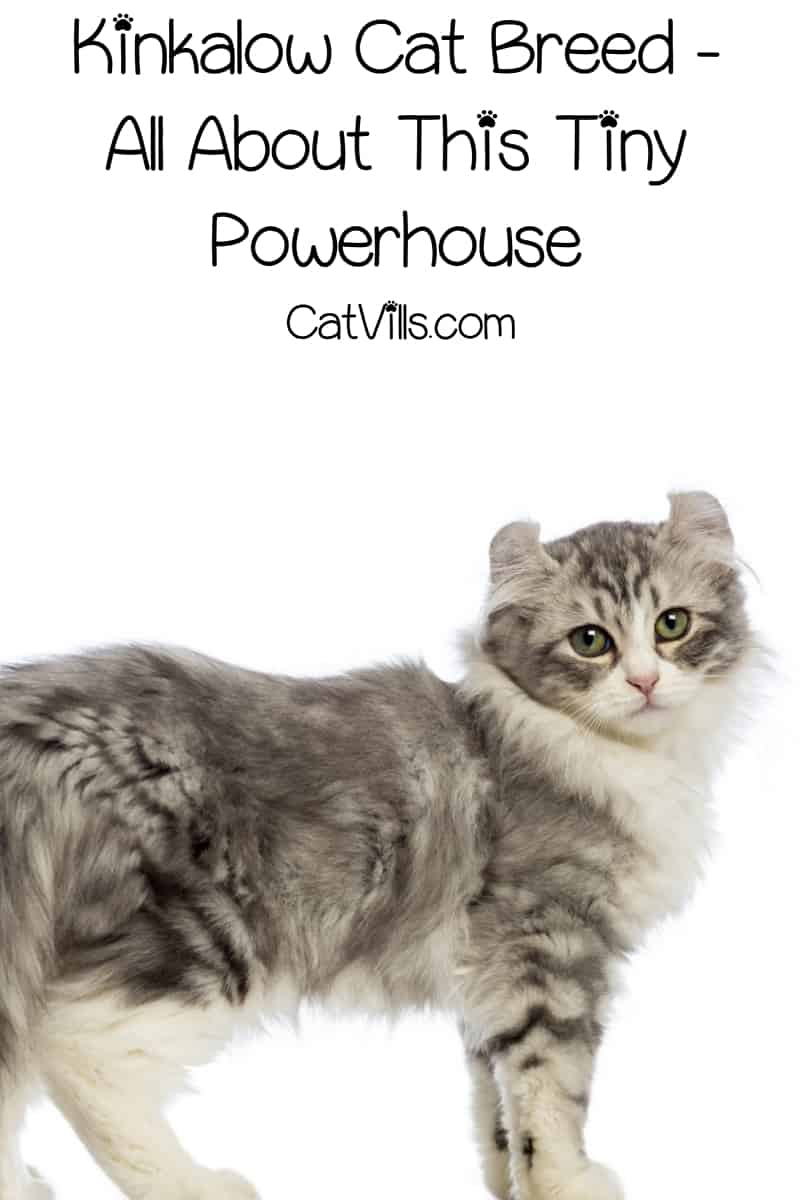 The Kinkalow cat is a breed know for its adorable stature, curled ears, and high energy. Read on for everything you need to know about this tiny powerhouse!