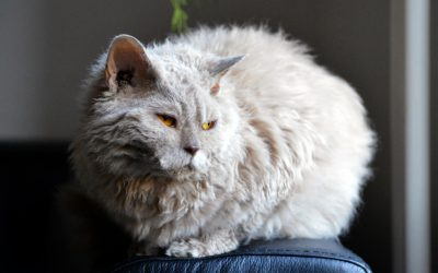 Lambkin Cat Breed – All About This Adorable Fluff Bomb