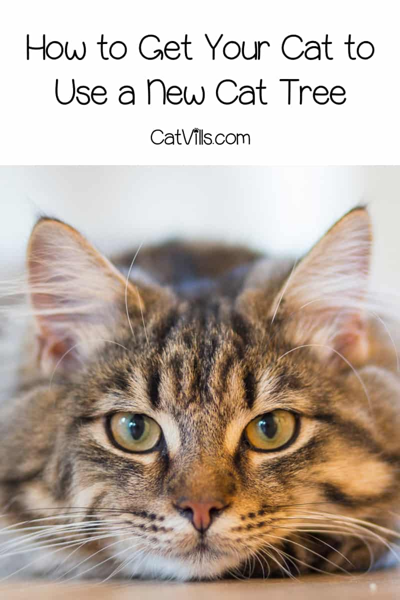 how to get your cat to use a new cat tree catvills. Black Bedroom Furniture Sets. Home Design Ideas