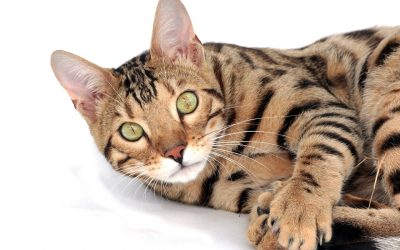 The Top 15 Best and Famous Bengal Cat Names