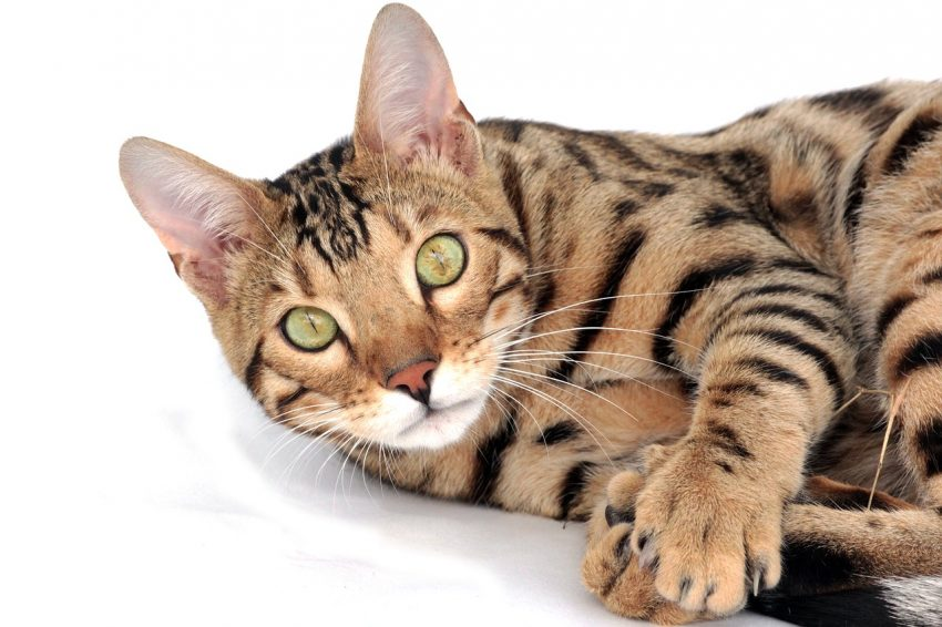 The bengal cat breed, among the unhealthiest cat breeds